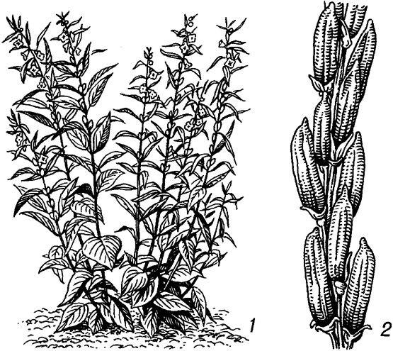 кунжут растение
