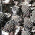 Производство кармина, а также методы приготовления и правила хранения кармина