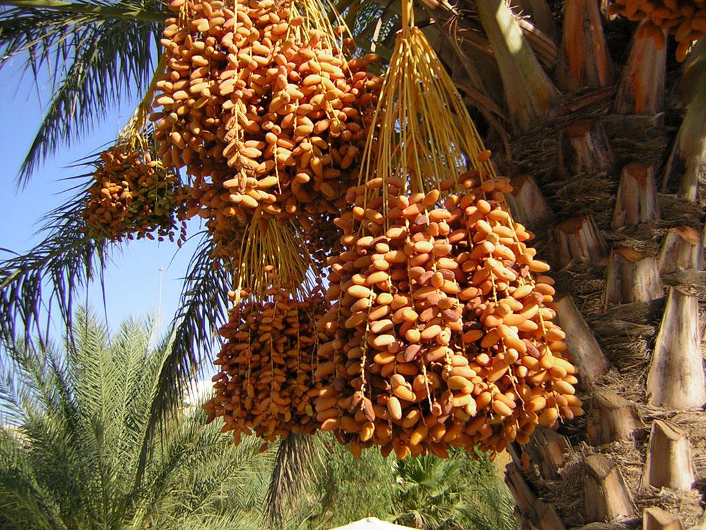 финики оптом купить дерево плоды свежие зеленные желтые