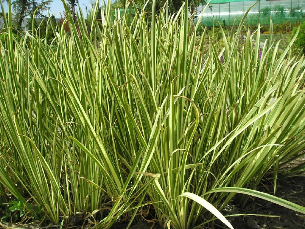 аир корень аира купить оптом растение трава болото зеленное