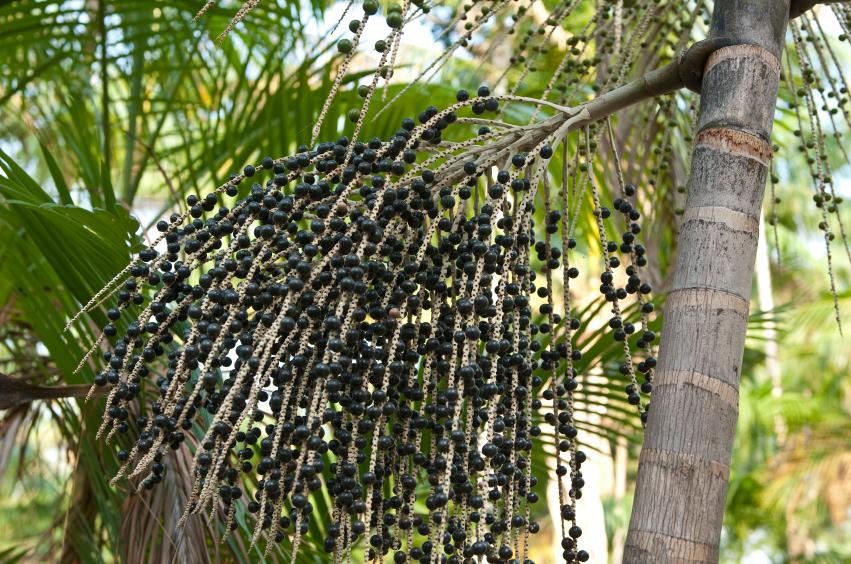 Полезные свойства ягод асаи