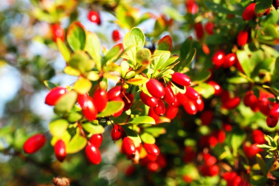 Кизил – отличная ягода, которая была забыта